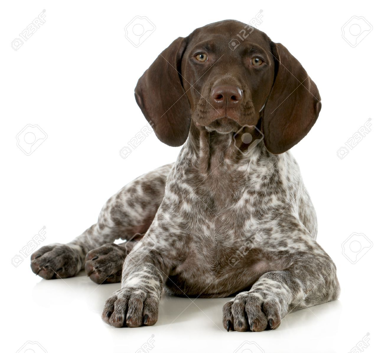 Stock Photo German shorthaired pointer, Pointer puppies