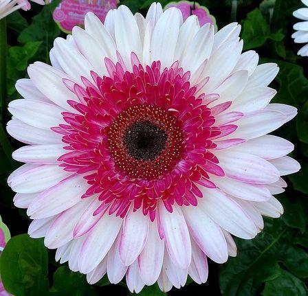 Lollipop Gerbera Daisy Beautiful Flowers Garden Gerbera