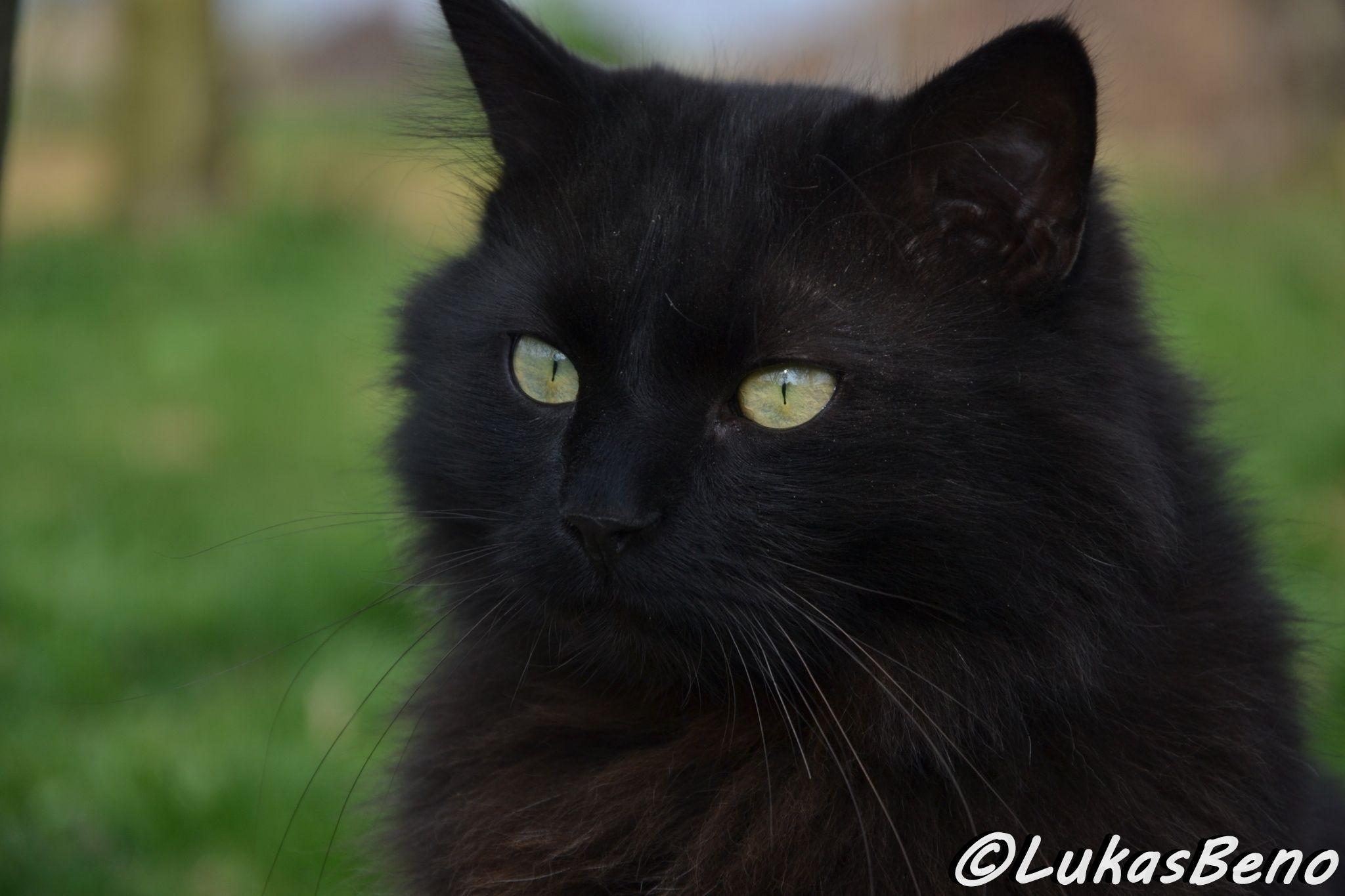 Black Chantilly Cat Chantilly Cat Cats Fluffy Cat