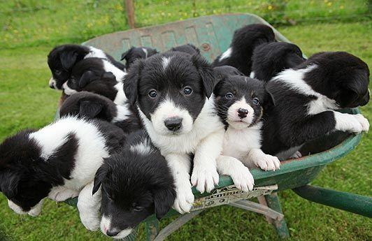 Puppies In Wheelbarrow Sheep Dog Puppy Cute Animals Dogs Puppies