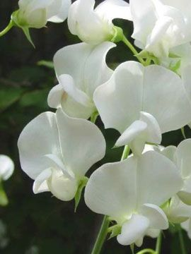 White sweet pea flower 1 of 3 flowers sweet peas pinterest white sweet pea flower 1 of 3 flowers mightylinksfo Gallery