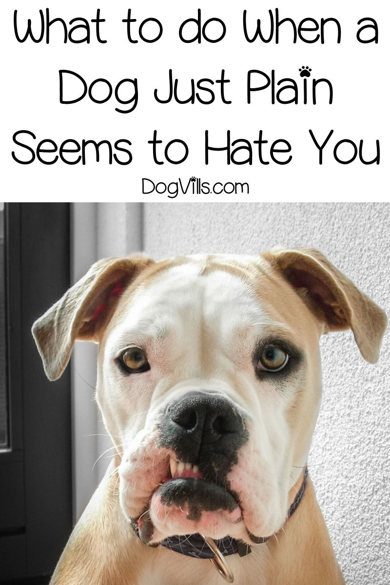 4 Signs Your Dog Hates You What To Do About It Dogs Your Dog