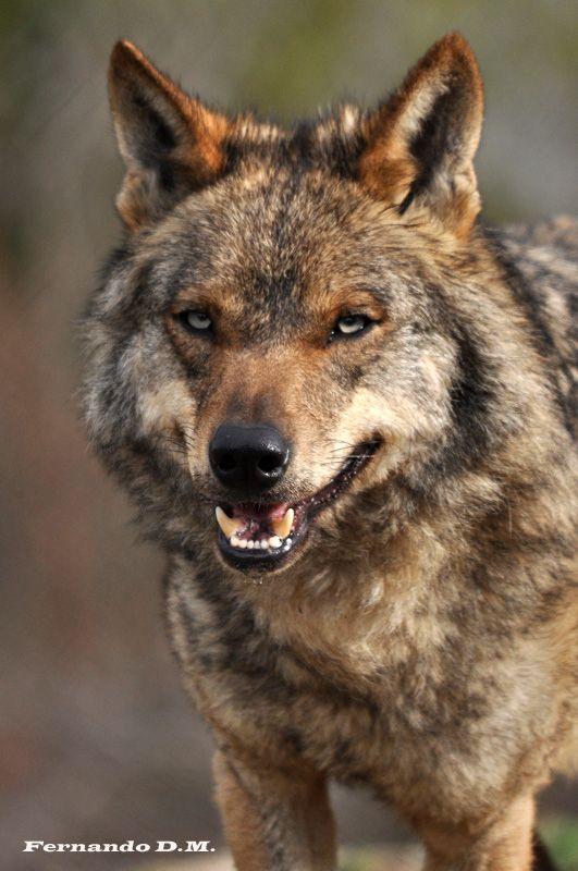 Lobo ibrico Canis lupus signatus  Lobo  Pinterest  Lobos