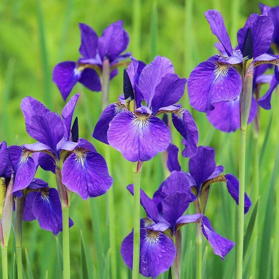 Siberian iris ruffled velvet iris ruffles and grow bulbs siberian iris ruffled velvet izmirmasajfo
