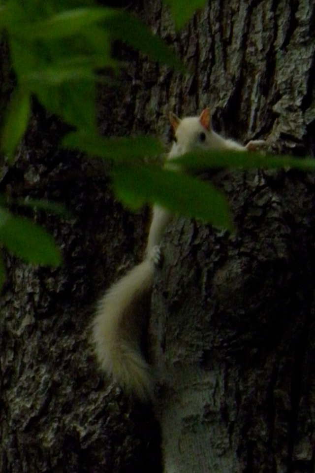 """The white Squirrels of Arden Pa. from my Friends at """"THE SWEEP"""" D & S"""