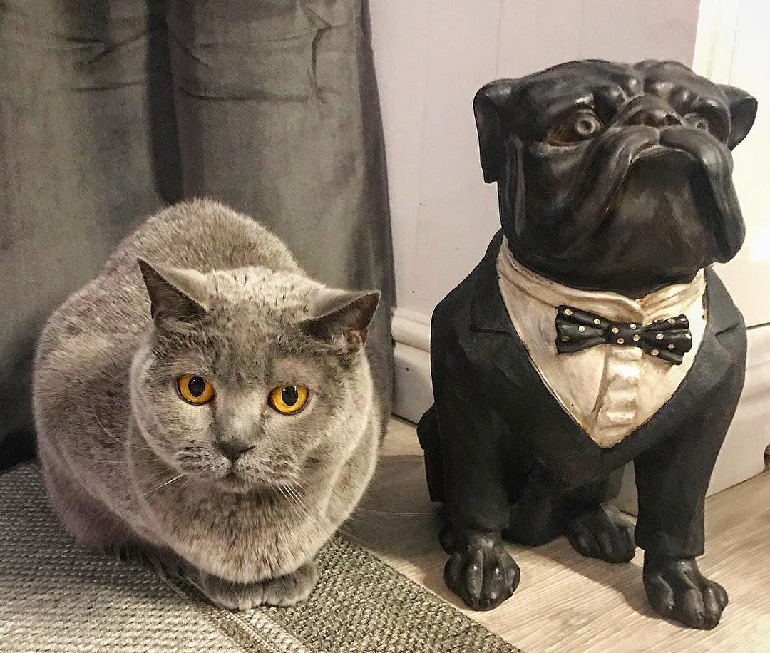 British Correctness R K Immobilien Britishshorthair Britischkurzhaar Katze Immobilien Hauskauf Immobilienmakler Katzenlieb Cats French Bulldog Bulldog