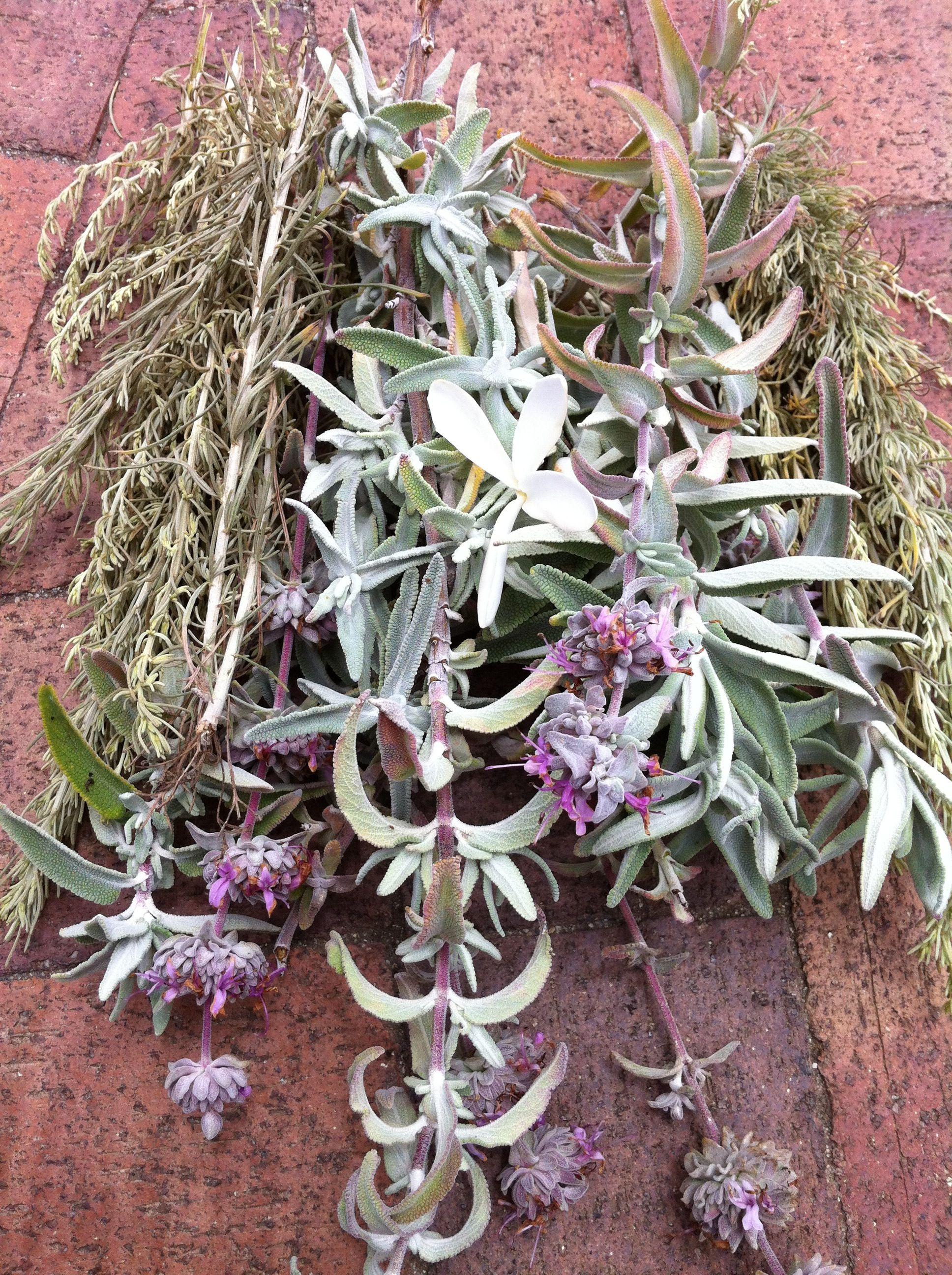 Wild Harvested Blue Sage And Artemisia Palos Verdes Ca Blue