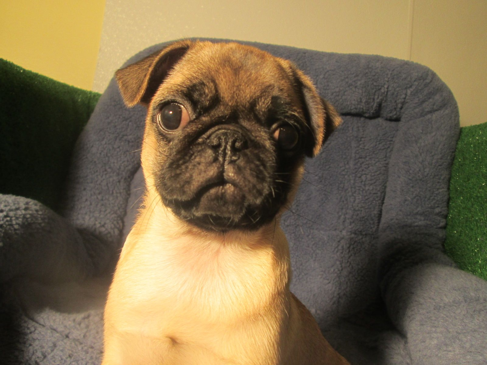 Lovable Pug Puppies Available 8 12 Weeks Of Age Permanent