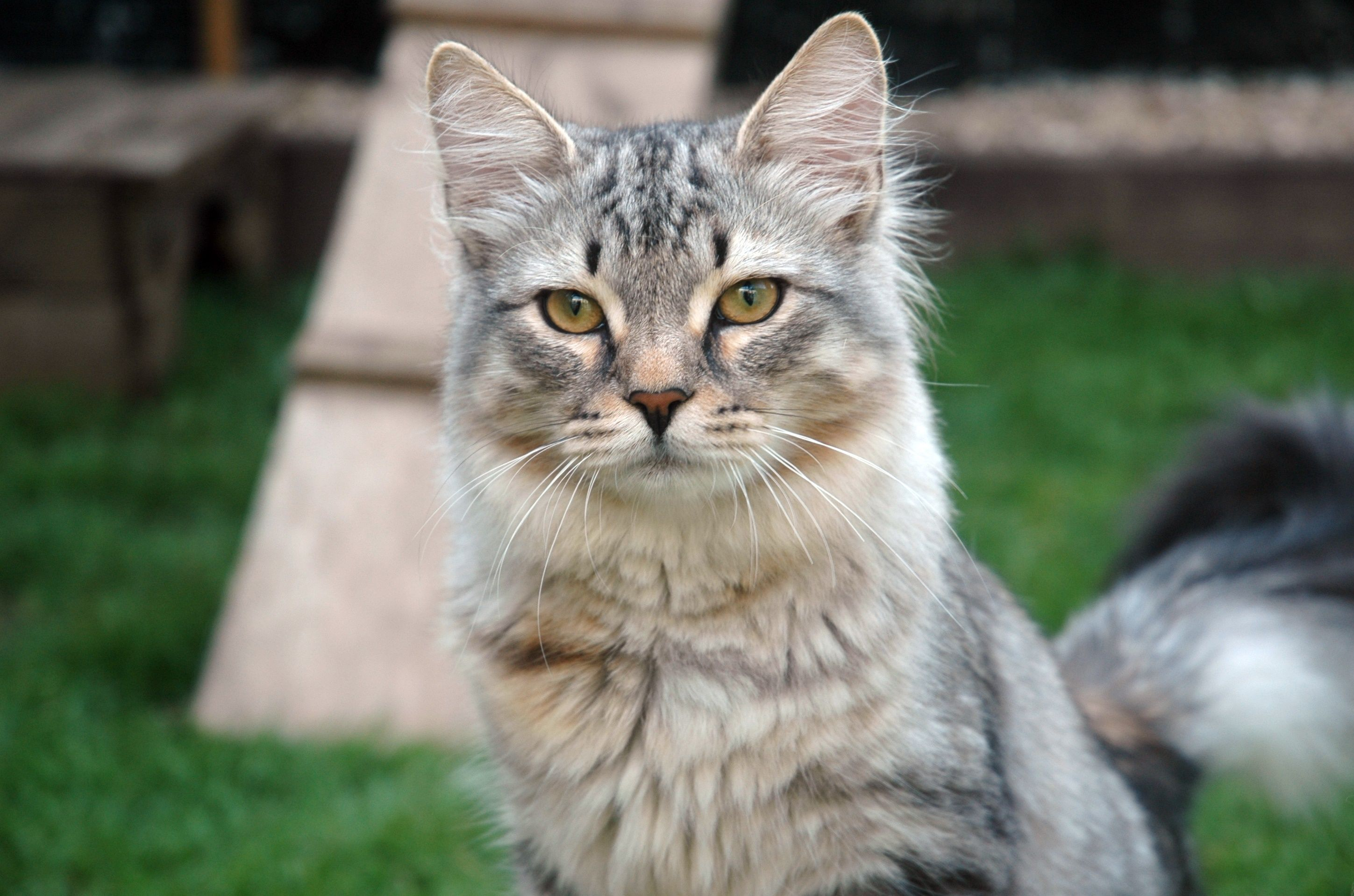 How healthy is your Hypoallergenic Siberian Cat