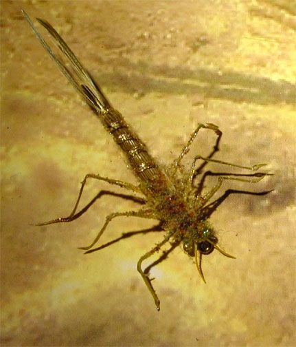 Real Nymph