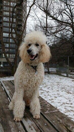 City Of Hamilton Poodle Dog Life Dogs