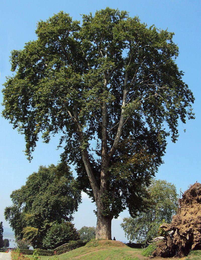 Дерево чинар картинка