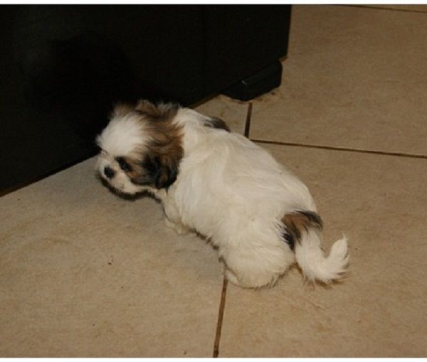 Shih Tzu Puppies For Sale Texas Zoe Fans Blog Shih Tzu Puppy