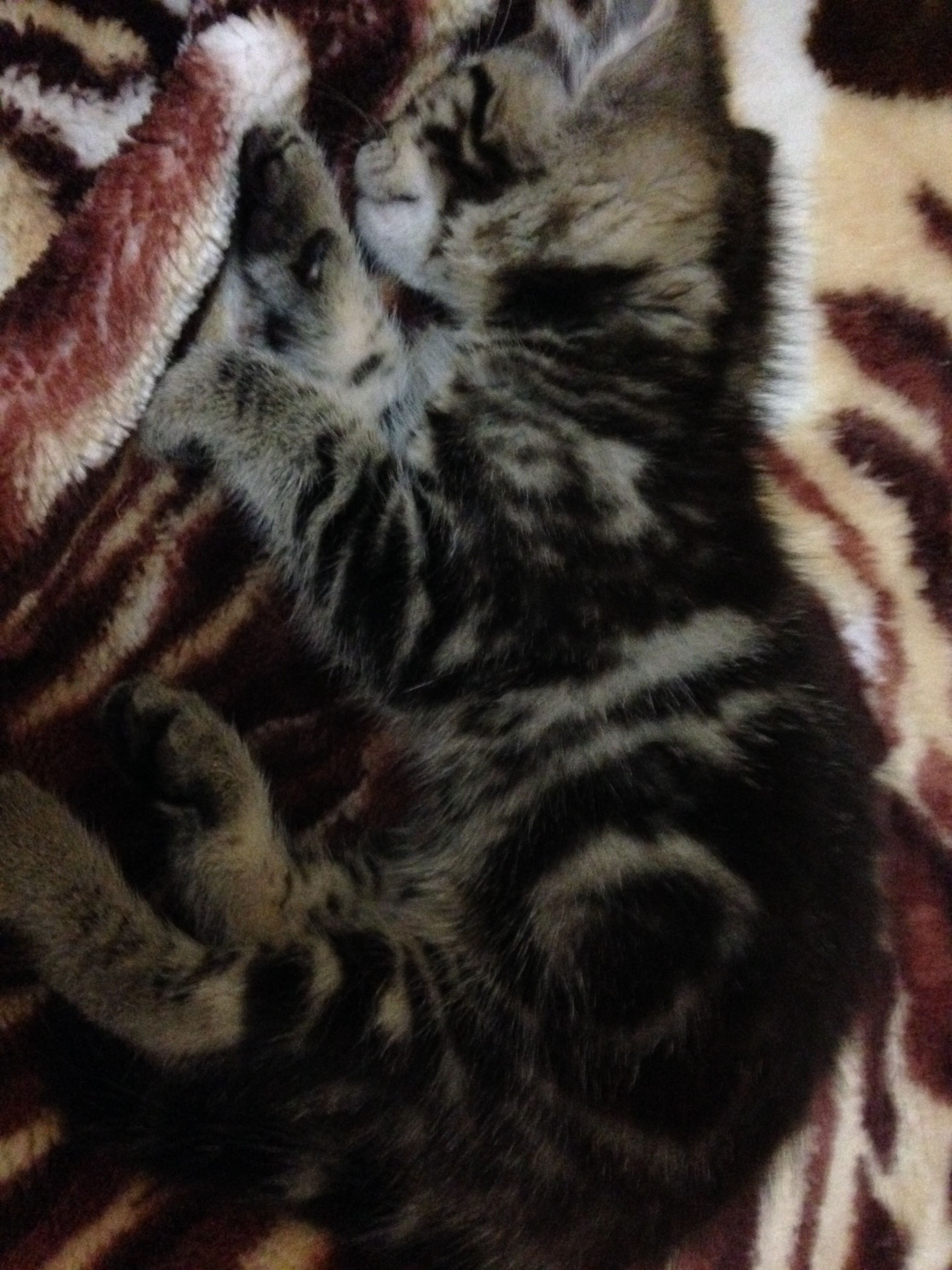 Takoda When She Was A Kitten Kitten Cats Animals