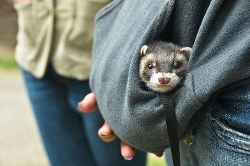 awwwe little ferret