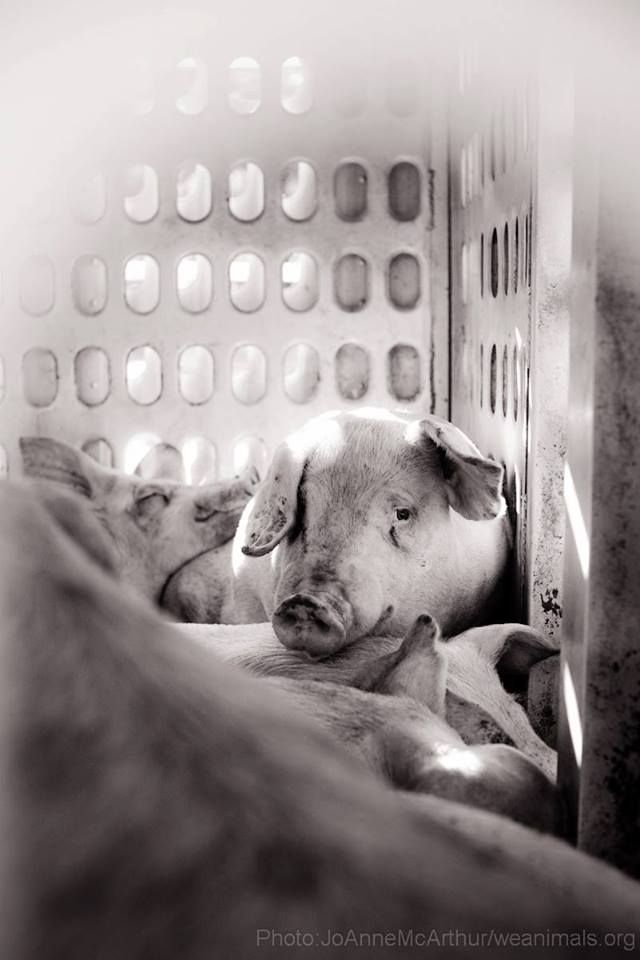"""""""We can't plead ignorance, only indifference. Those alive today are the generations that came to know better. We have the burden and the opportunity of living in the moment when the critique of factory farming broke into the popular consciousness. We are the ones of whom it will be fairly asked, 'What did you do when you learned the truth about eating animals?' """" ~ Jonathan Safran Foer"""