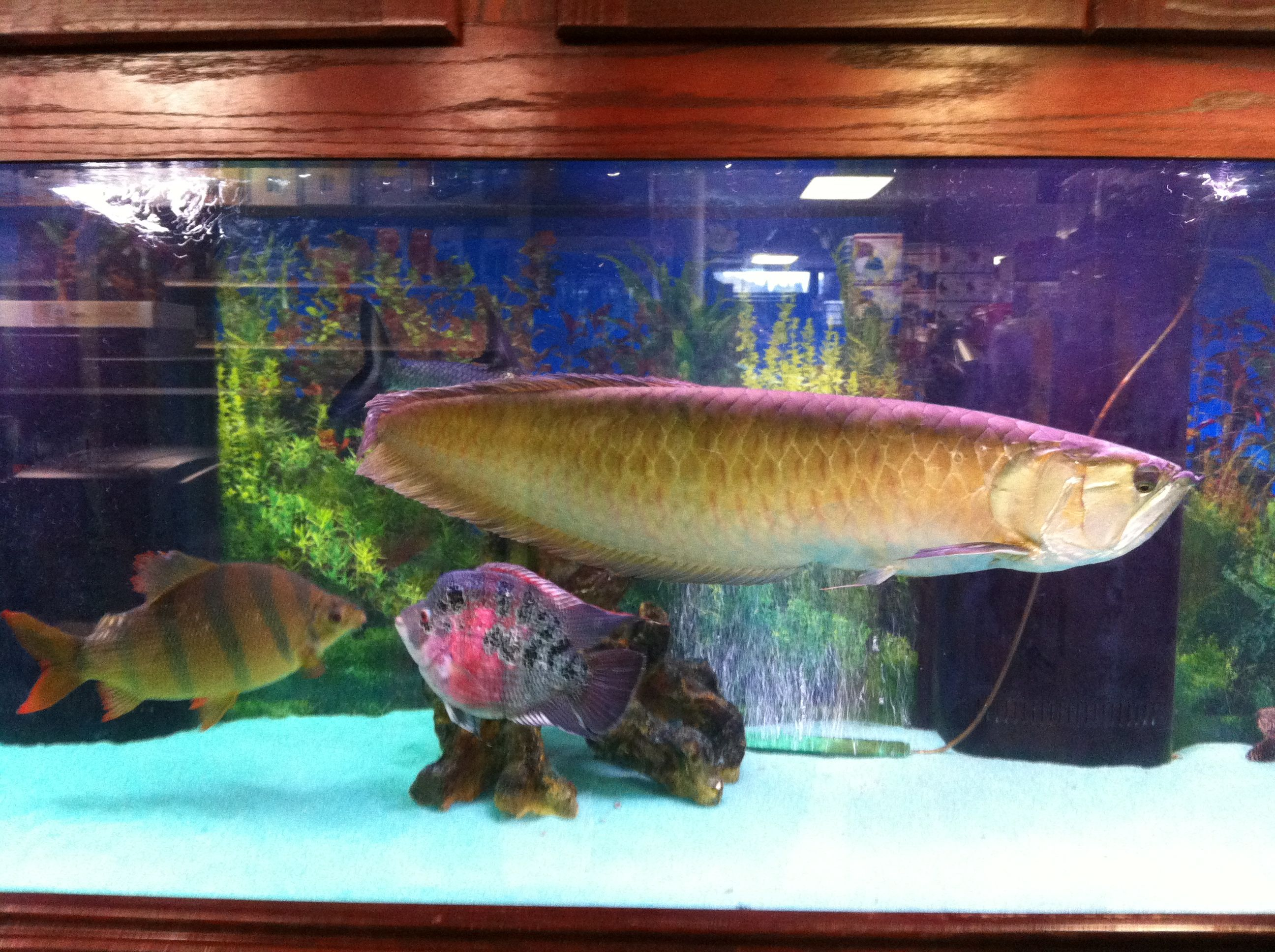 Full grown arowana Here fishy fishy Pinterest