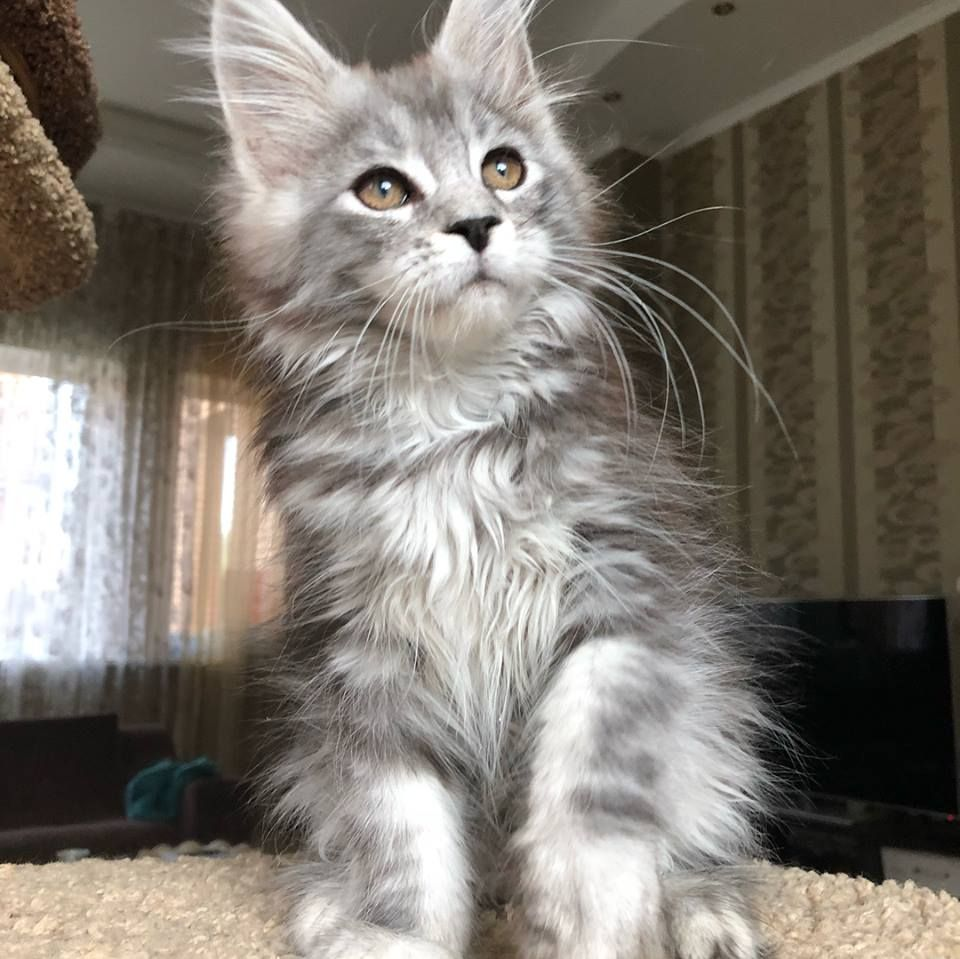Pin on MAIN COON KITTENS
