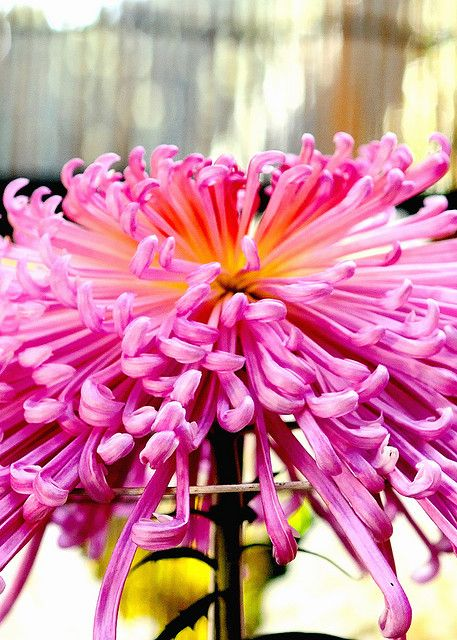 Chrysanthemum close | Flickr –