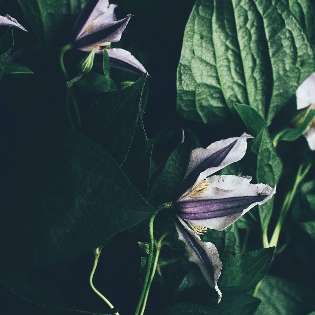 Доброго дня) На фото потрясающее растение клематис🌿🖤 Очень ...