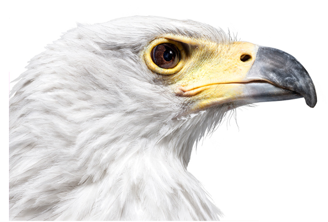 andrewzuckerman-animal-bird-eagle-white-head-beak