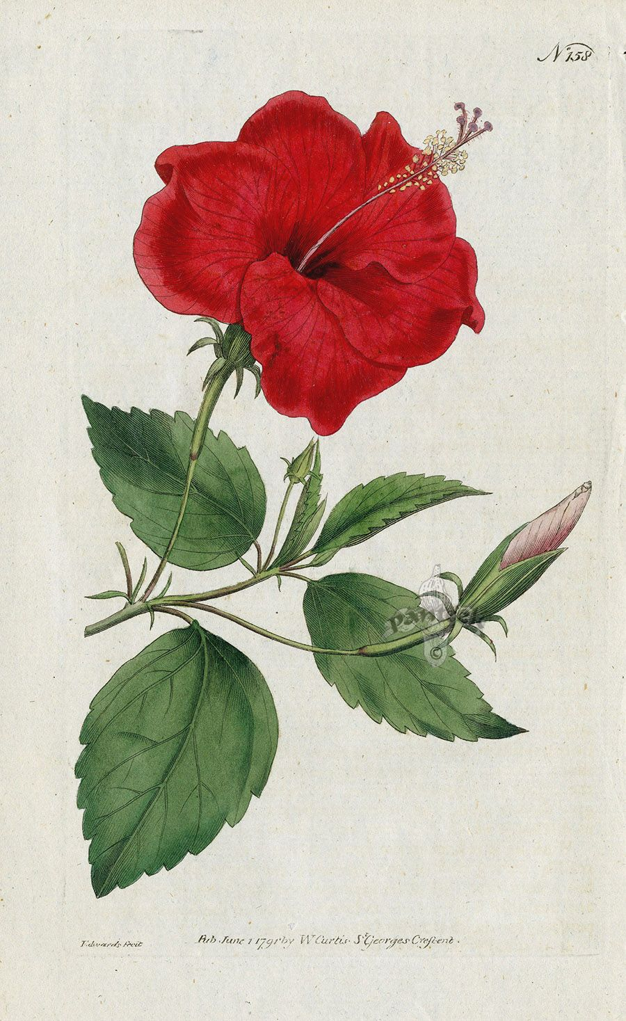 Hibiscus Rosa Sinensis China Rose Hibiscus From William Curtis Botanical Magazine 1st Edition Prints Vol 1 6 1787 Flower Drawing Flower Images Botanical Art