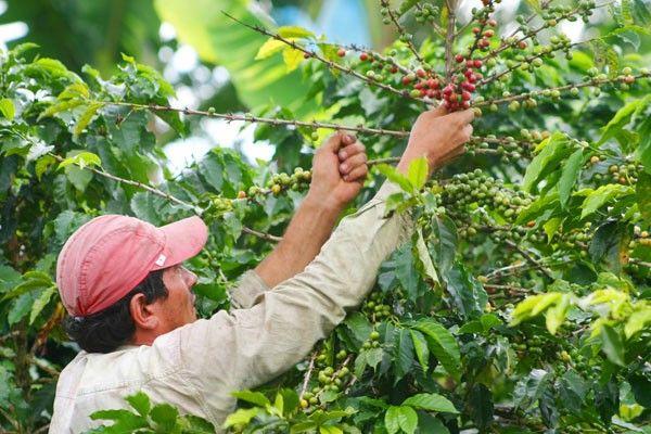 Recojer la semilla de café