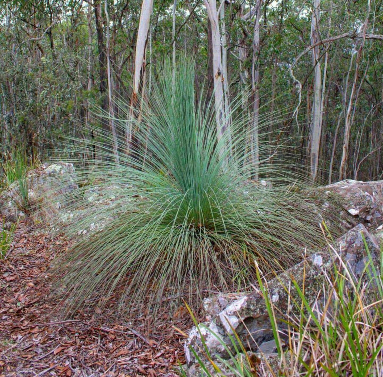 Austral Grass Tree Australian plants, Trees to plant