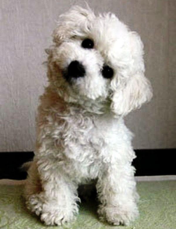 Top 10 Best Hypoallergenic Dog Breeds The Pet S Planet Bichon