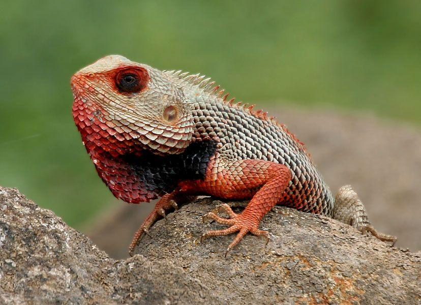10 Coolest Lizards In The World Cute Reptiles Colorful Lizards Lizard