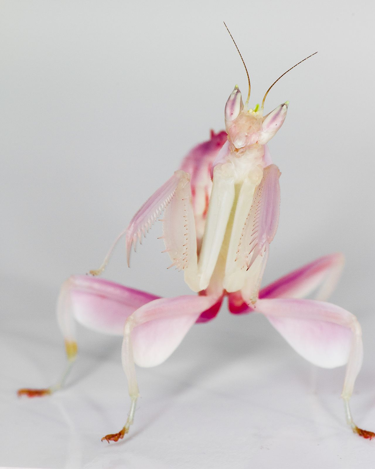 Unraveling The Orchid Mantis Mystery Orchid Mantis Orchids
