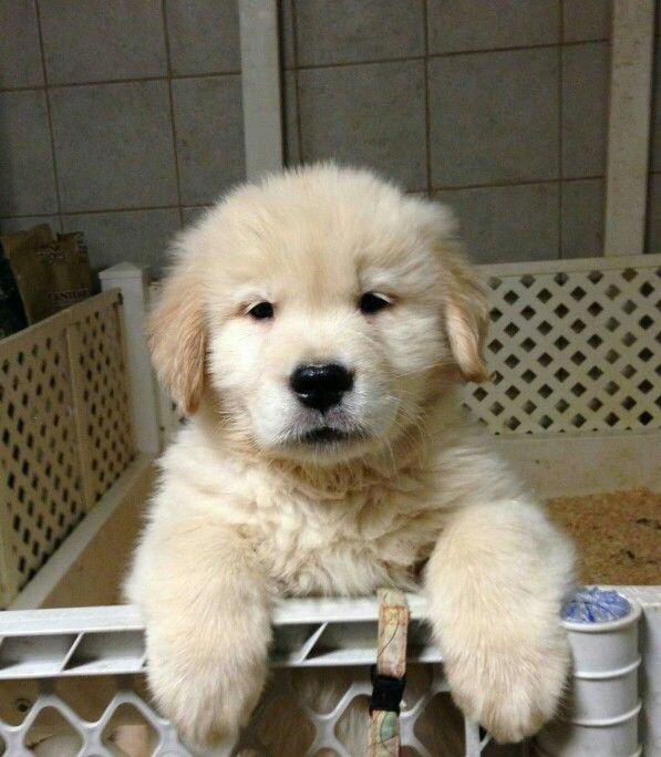 : ) Golden pup