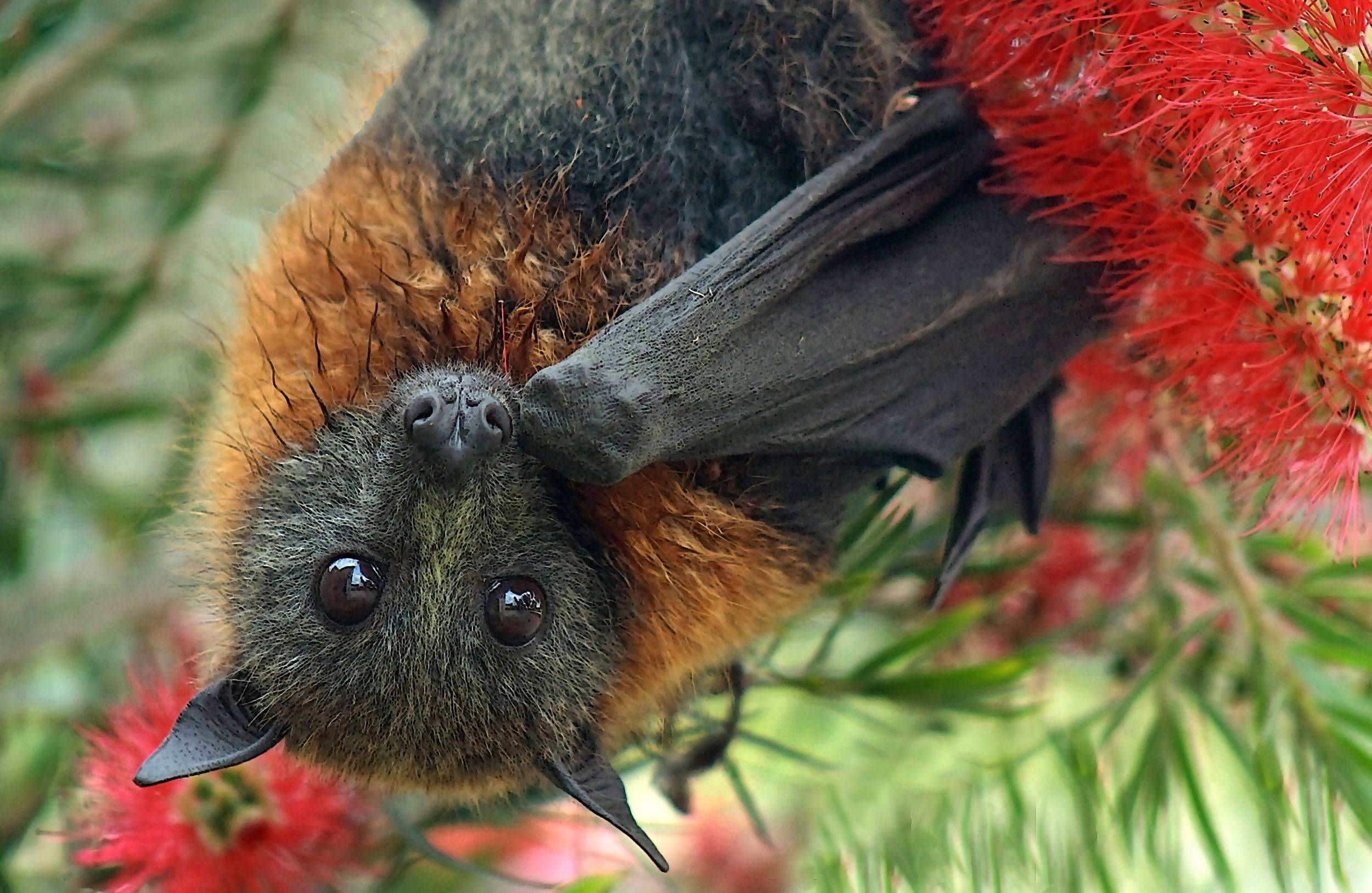 Australian fruit bat. Fruit bat, Animals, Bat species