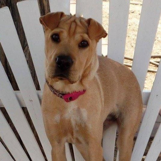 Adopt Adopted Ava Young And Cute On Adoption Cute Shar Pei