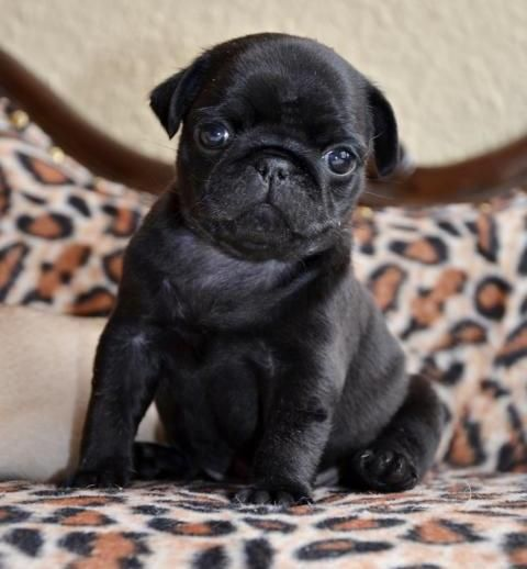 Cute Black Pug Puppy Baby Pugs Cute Pugs Pug Puppies