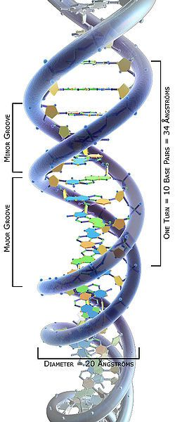 3d science dna structure labeled angstroms biyoteknoloji 3d science dna structure labeled angstroms ccuart Image collections