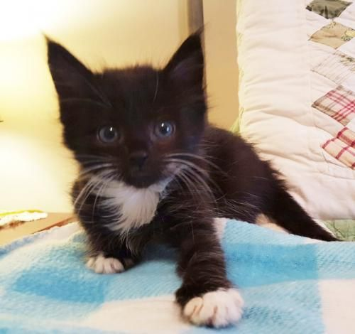 Delphine Is An 8 Week Old Female Black And White Kitten She And Her Littermates Caspian Alma And Tawney Cat Behavior Cat Adoption Black And White Kittens