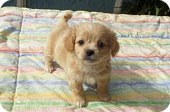 Ocala Fl Yorkie Yorkshire Terrier Pekingese Mix Meet Reuben A Puppy For Adoption Http Www Adoptapet Com P Yorkie Yorkshire Terrier Pets Puppy Adoption
