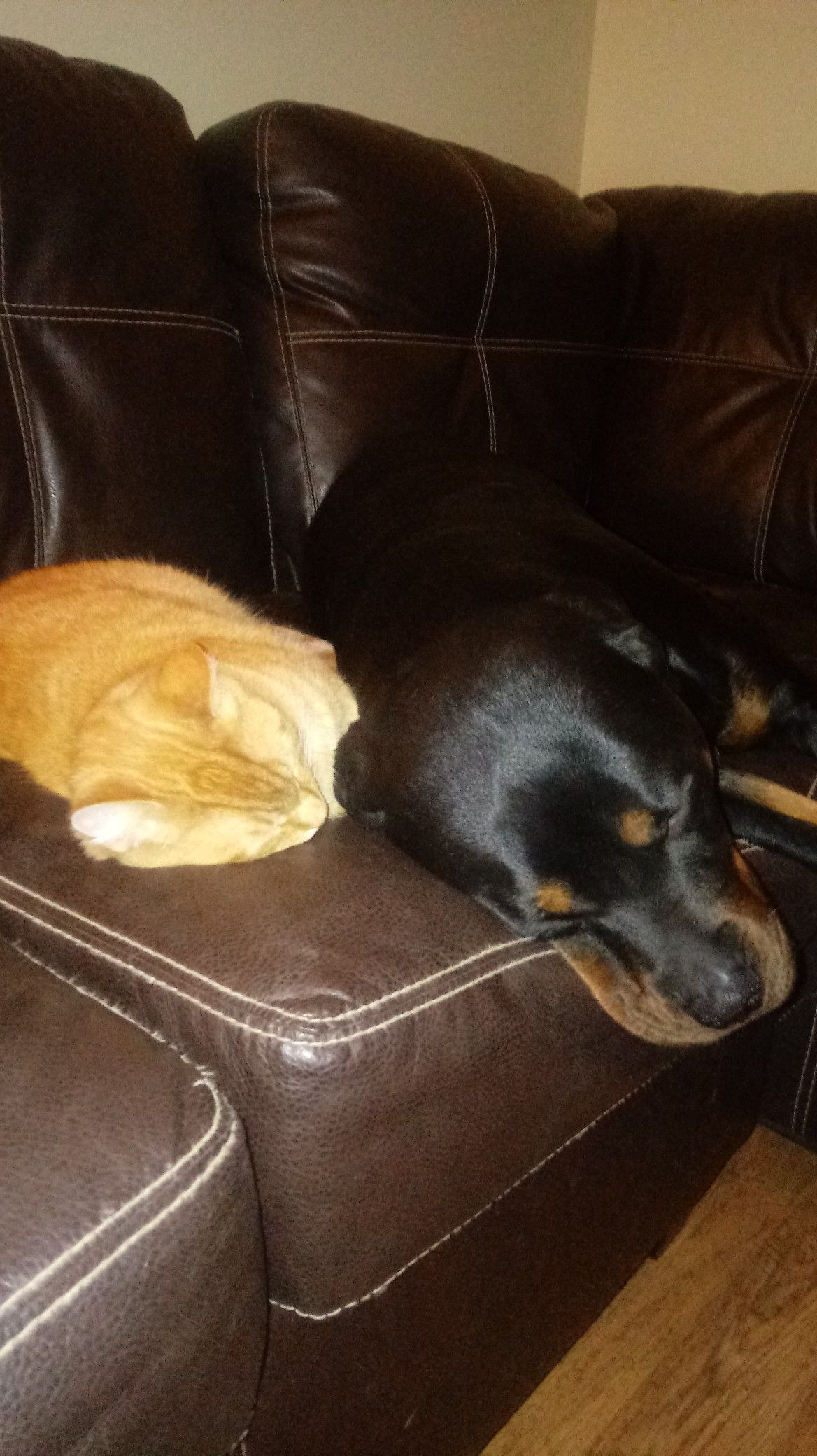 Nelson the cat spooning with Gemma the Rottweiler..