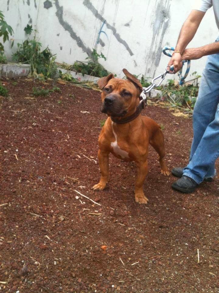 Ramire Z Boyka De Sporting Dog Queretaro Jpg 720 960