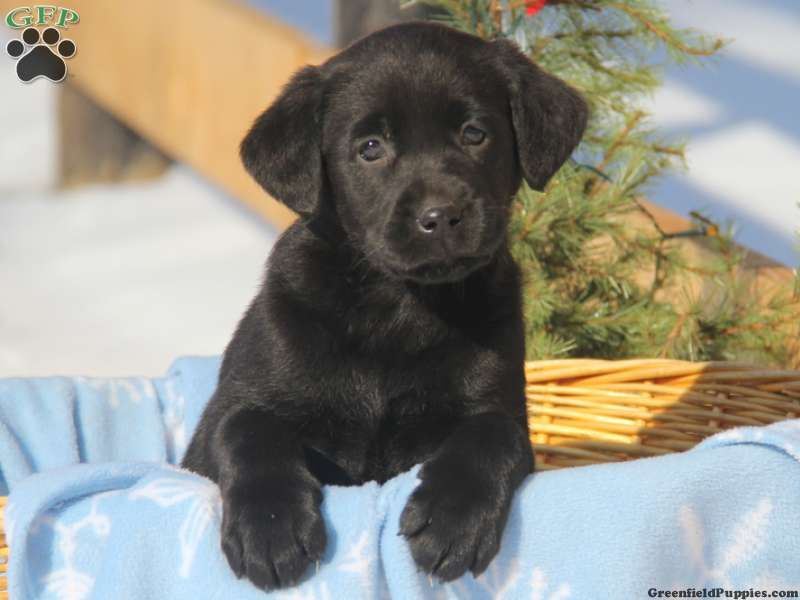 Kendra, Black Lab puppy for sale from Christiana, PA Lab