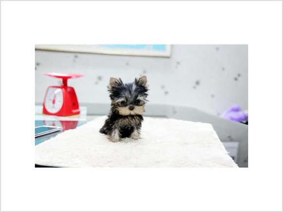 Price Under 300 With Images Puppies For Sale Lancaster