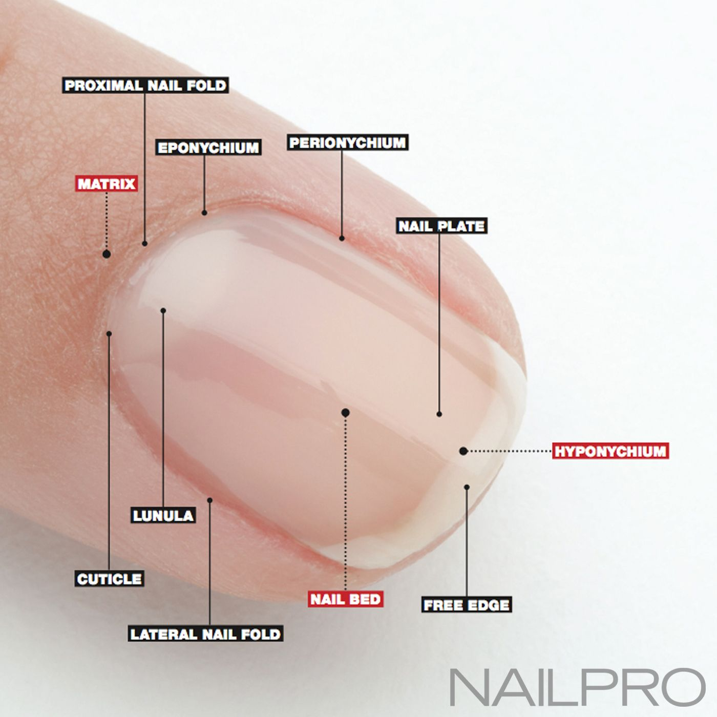 Rehab Your Nails Anatomy Of A Nail Manual Guide