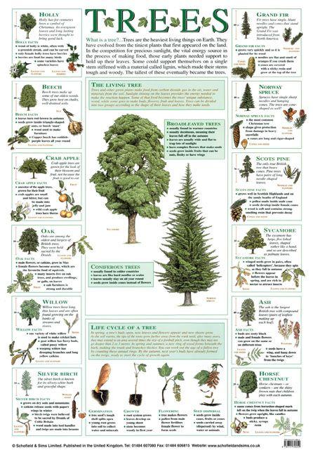 trees poster education ks1 ks2 naturalworld biology nature classroom cadette trees. Black Bedroom Furniture Sets. Home Design Ideas