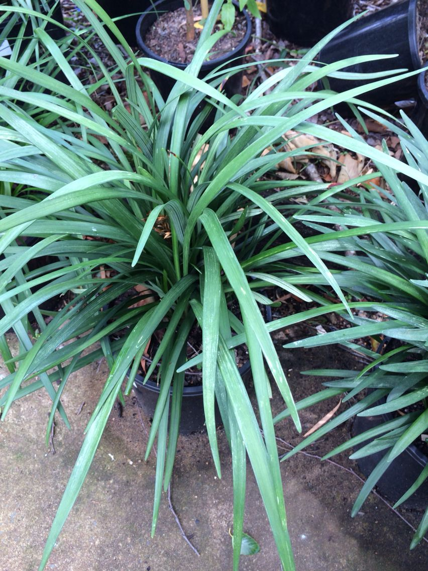 Bubba plants