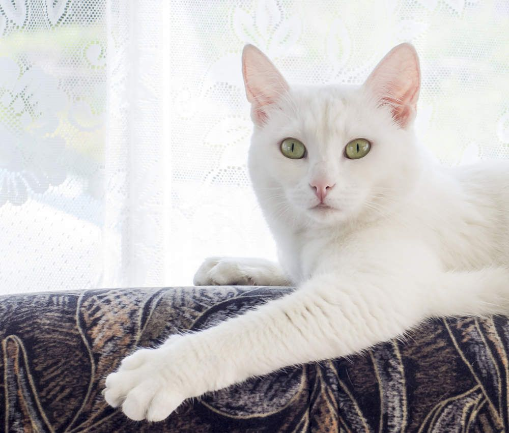 White American Shorthair cat Cats Pinterest