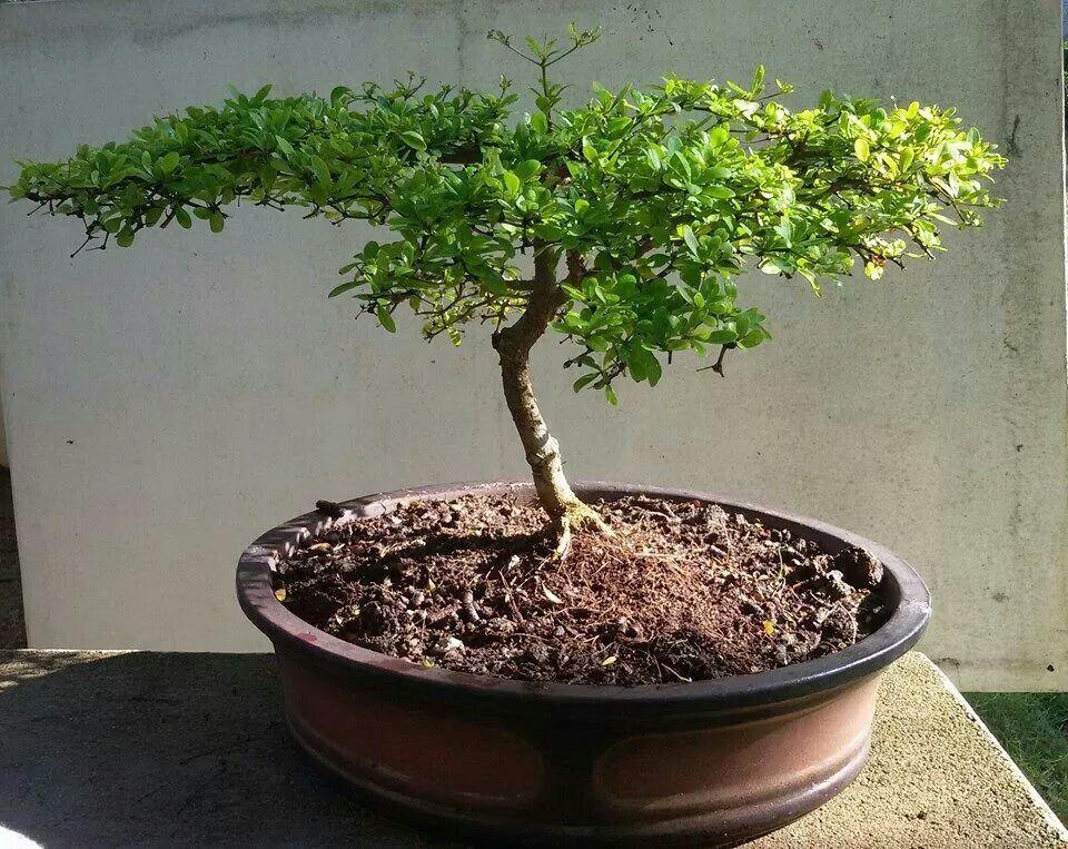 Bonsai Haus bucida spinosa awesome bonsai bonsai