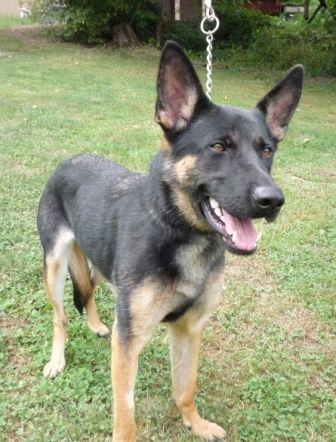 D26721 Gretchen Is A 10 12 Month Old Female German Shepherd Who