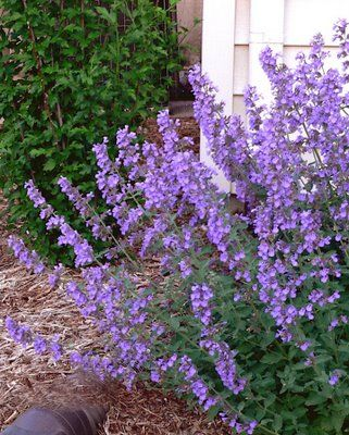Catmint nepeta ssp catmint is a widely used mint that for Zero maintenance plants