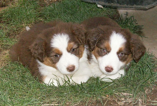 Derek S Favorites Aussie Dogs Dog Rules Australian Shepherd